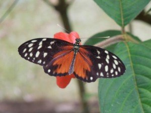 Butterfly in La Fortuna